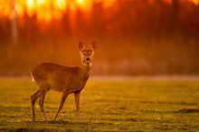 Őz naplementében Az őzek gyakran jönnek ki az erdőből már naplemente előtt friss füvet legelni. Szerencsém volt, hogy az őz pont a kamerám és a lemenő nap közé állt egy márciusi napon Bugyi közelében.