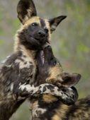Helyet! Az Afrikai vadkutya veszélyeztetett faj. Remek vadászok, épp ezért a fajnak óriási a helyigénye. Az életterük csökkenésével napjainkban az állomány is egyre fogyatkozik.