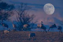 Holdfényben A képen egy multiexpoziciós esti darvas képet látunk ami Svédországban készült