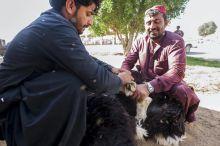 Tevepiac Az Al Ain mellett találhtó tradícionális teve és kisállatpiac az egyik utolsók egyike az Emirátusokban és a környéken egyaránt. Olcsó tevék és millió eurós versenytevék cserének gazdát kora hajnaltól. Nemzetközi tevehajcsárokból és kereskedőkből álló színes csapat alkudozik szinte egész nap a luxus jeep-jeikkel érkező úriközönséggel.