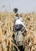 Toronyiránt  Menekültek gyalogolnak a kukoricásban Röszke határában.