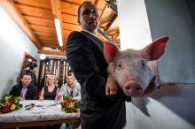 Sertés szépségverseny Malacok és sertések versenyeztek a legszebbnek járó díjért a zselicvölgyi sertés szépségverseny döntőjén a Tolna megyei Hajmáson 2015. március 31-én.