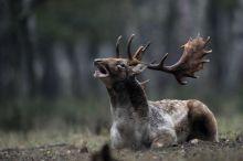 barcogás Dámszarvas (Dama dama) bika barcog a SEFAG Zrt. barcsi erdészetének területén 2015. október 14-én. Október elejétől november közepéig tart a dámvadak párzása, üzekedése, azaz barcogása.