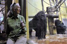 Jane Goodall Jane Goodall főemlőskutató és természetvédő, az ENSZ békenagykövete a gorillákat nézi a Fővárosi Állat- és Növénykertben az emberszabású majmok házában 2015. június 15-én.