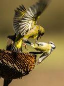 Harc az ételért Madarak harcolnak a megmaradt napraforgó magvakért.