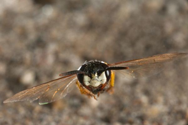Méhfarkas - A csendes bányász és a kegyetlen méhgyilkos darázs portréja