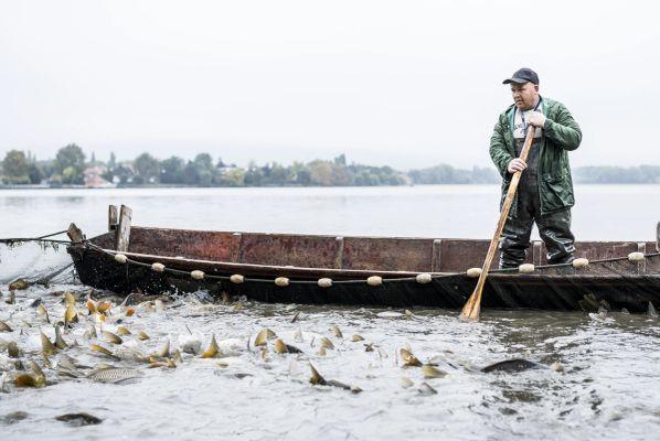 Tatai Öreg-tavi nagy halászat 2015